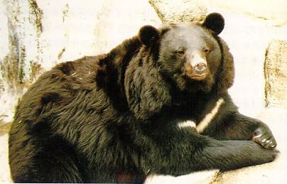 Korean black bear (반달곰); Image ONLY