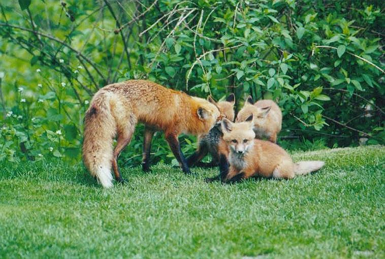 Red Foxes 0909; Image ONLY