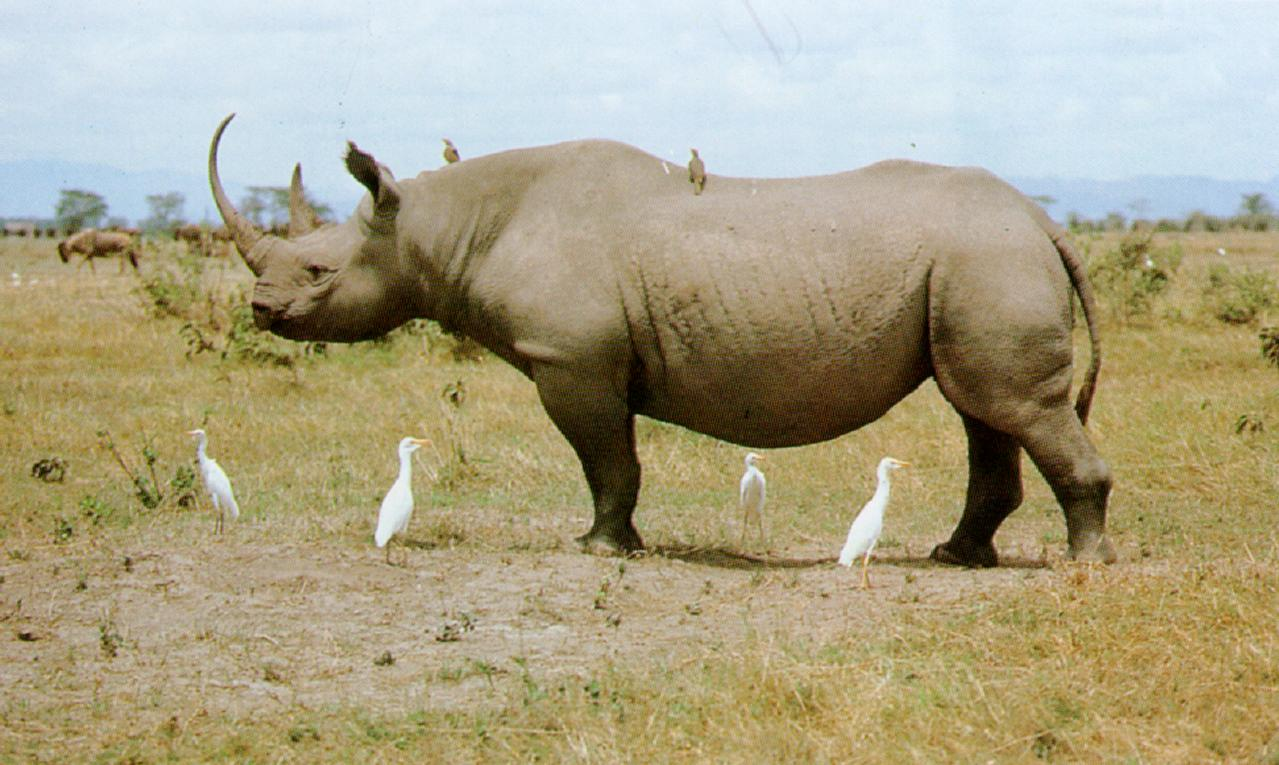 the black rhinoceros essay At present, the black rhinoceros is recorded as basically endangered, and the white rhinoceros is recorded as close endangered expanded levels of poaching are prodding the rhino closer and closer to eradication.