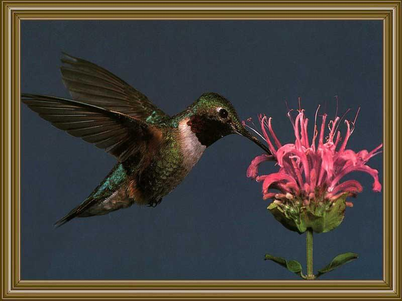Broad-tailed Hummingbird (6); Image ONLY
