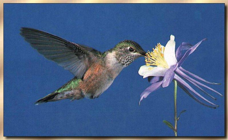Hummingbird - Broad-tailed; Image ONLY