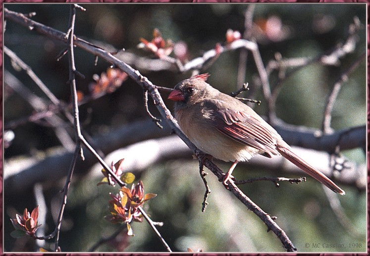 Re: Messages --> Northern Cardinal; Image ONLY
