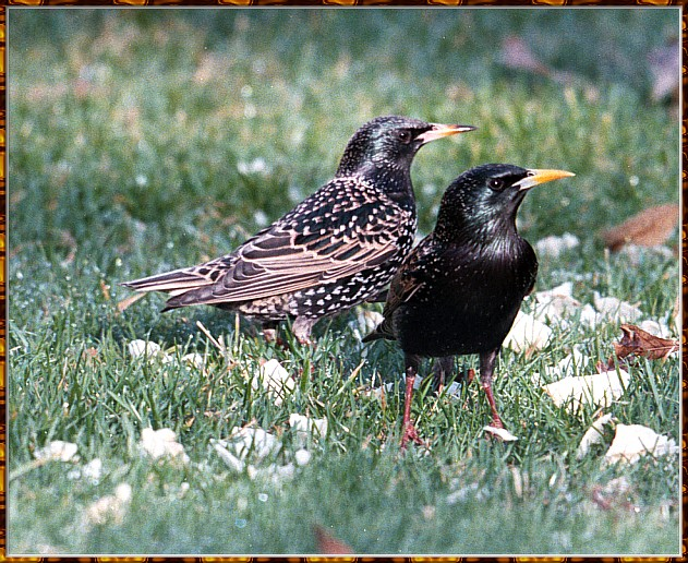Re: Messages --> European Starlings; Image ONLY