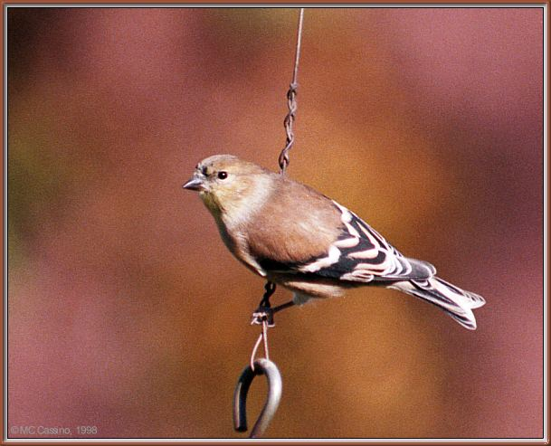 More birds --> American Goldfinch; Image ONLY