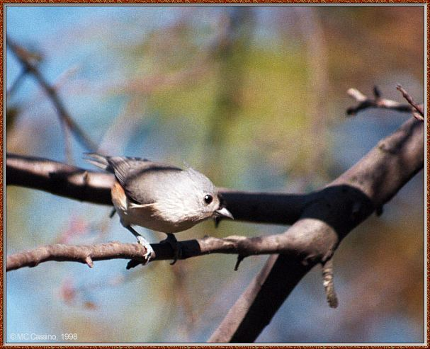 More birds --> Tufted Titmouse; Image ONLY