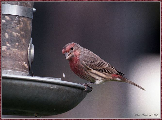 More birds --> House Finch; Image ONLY