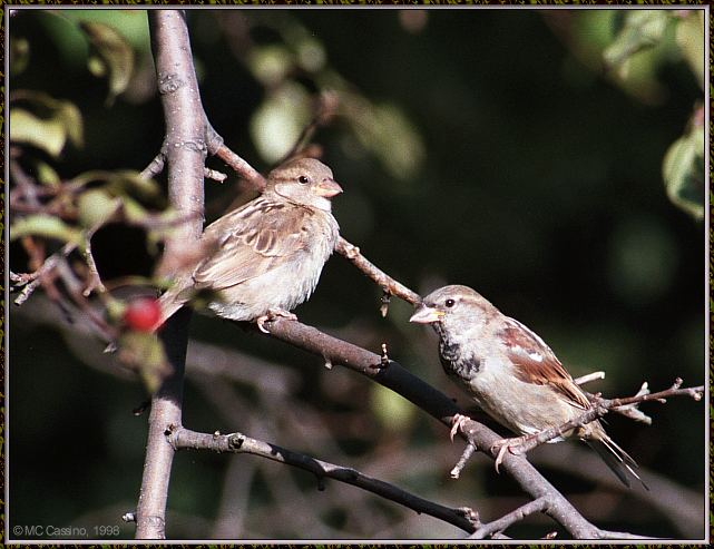 More birds --> House Sparrow; Image ONLY