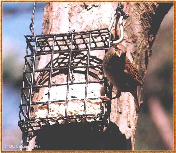 Back Yard Birds - House Sparrow - house_sparrow02.jpg; Image ONLY