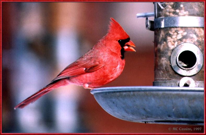 Resuming Transmission -- January 1998 images --> Northern Cardinal; Image ONLY