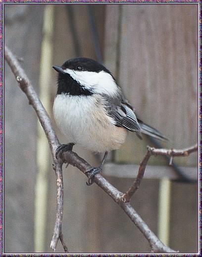 CassinoPhoto-MarchBird01-Black-capped Chickadee-perching on branch.jpg