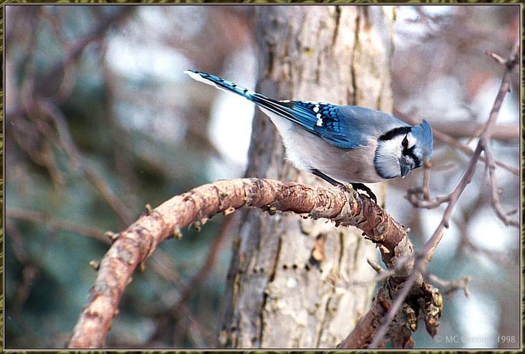 CassinoPhoto-MarchBird02-Blue Jay-perching on branch.jpg