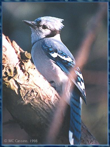 CassinoPhoto-MarchBird03-Blue Jay-perching on tree.jpg