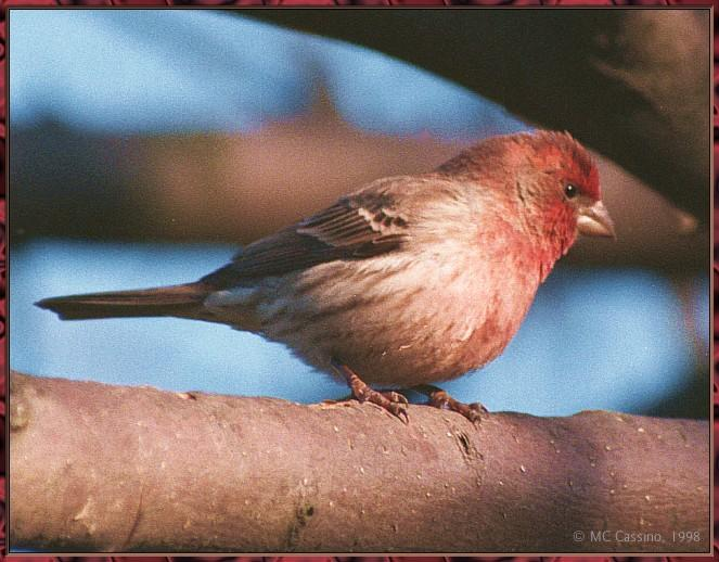 March birds --> House Finch; Image ONLY