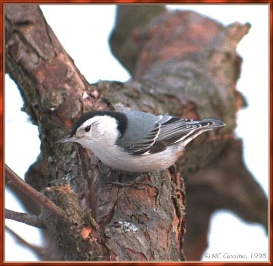 CassinoPhoto-MarchBird13-White-breasted Nuthatch-perching on tree.jpg