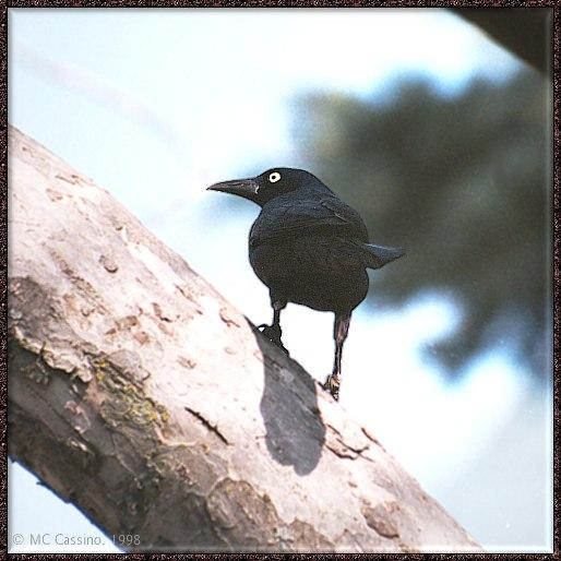 March birds --> Common Grackle; Image ONLY