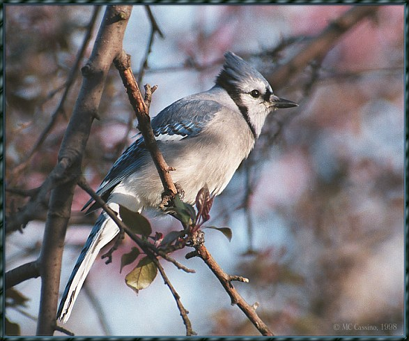 May Birds --> Blue Jay; Image ONLY