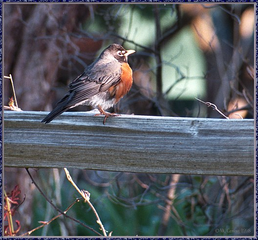 May Birds --> American Robin; Image ONLY