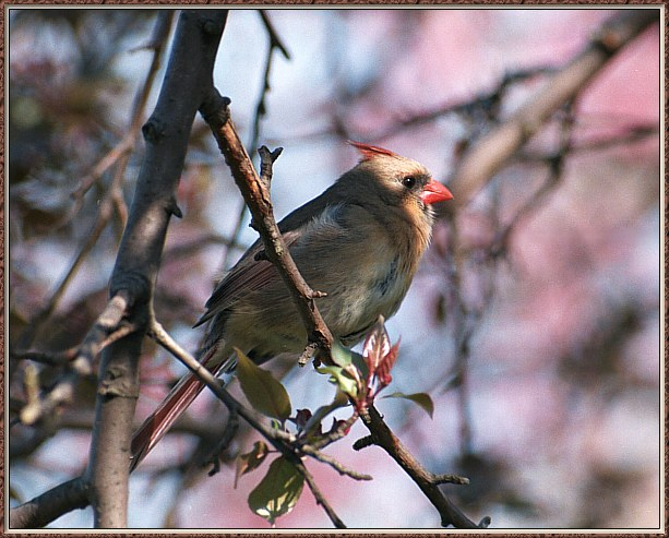 May Birds --> Northern Cardinal; Image ONLY