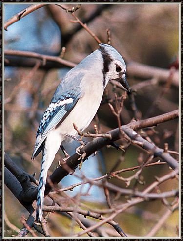 Backyard Bird Photos --> Blue Jay; Image ONLY