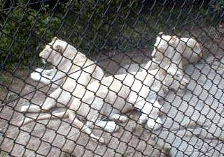 Cinti Zoo - White Lions; Image ONLY