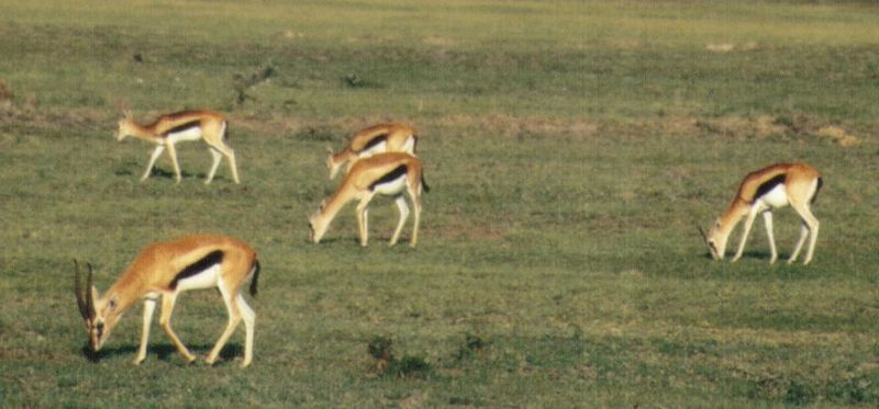 (P:\Africa\Antelope) Dn-a0029.jpg (Thomson's Gazelles); DISPLAY FULL IMAGE.
