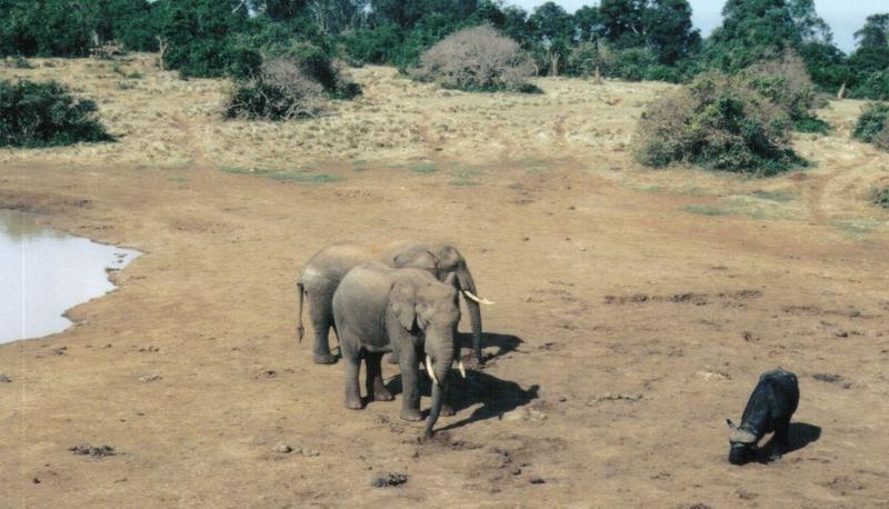 Dn-a0079-African Elephants and Cape Buffalo-by Darren New.jpg