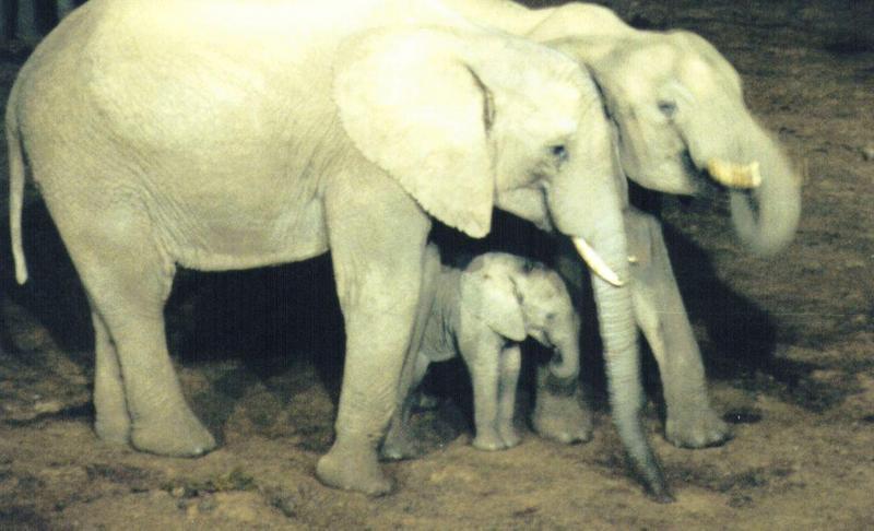 Dn-a0083-African Elephants-by Darren New.jpg
