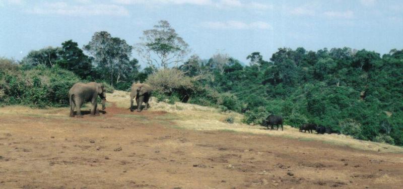 Dn-a0090-African Elephants and Cape Buffalos-by Darren New.jpg