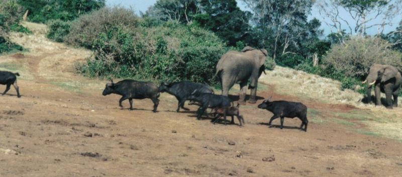 Dn-a0091-African Elephants and Cape Buffalos-by Darren New.jpg