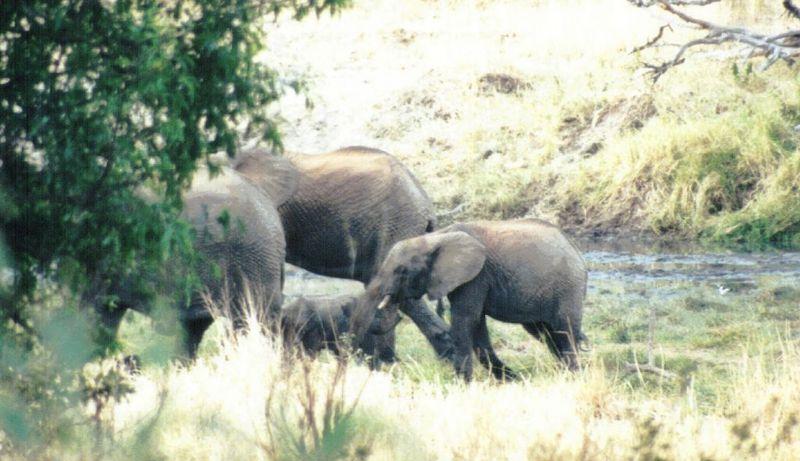 Dn-a0258-African Elephants-by Darren New.jpg