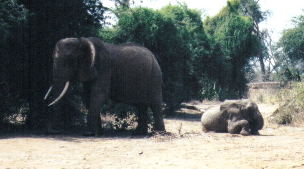 (P:\Africa\Elephant) Dn-a0259.jpg (1/1) (100 K); Image ONLY