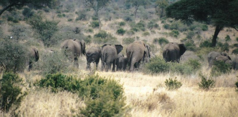 (P:\Africa\Elephant) Dn-a0293.jpg (1/1) (88 K); DISPLAY FULL IMAGE.