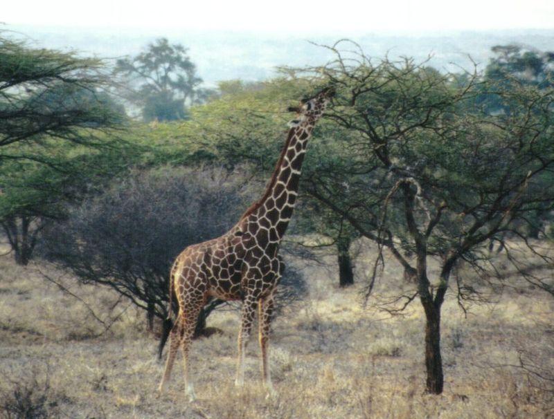 Dn-a0377-Giraffe-by Darren New.jpg