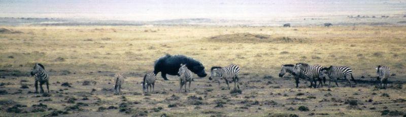 Dn-a0387-Plains Zebras and Hippo-by Darren New.jpg