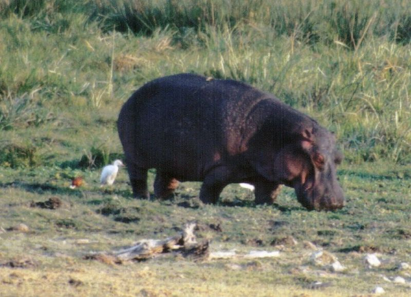 (P:\Africa\Hippo) Dn-a0401.jpg (1/1) (107 K); DISPLAY FULL IMAGE.