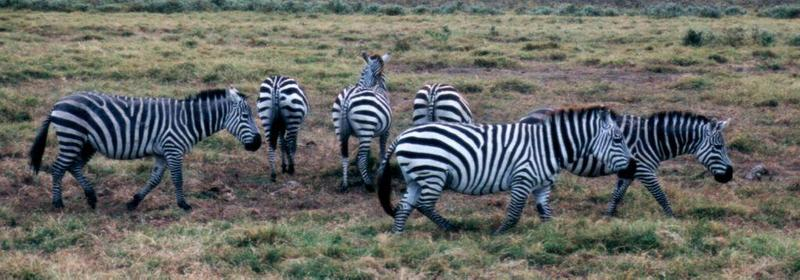 (P:\Africa\Zebra-Plains) Dn-a0943.jpg (Plains Zebra); DISPLAY FULL IMAGE.
