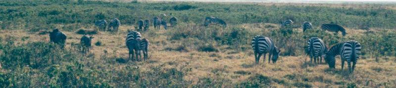 (P:\Africa\Zebra-Plains) Dn-a0947.jpg (1/1) (57 K); DISPLAY FULL IMAGE.
