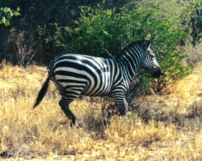 (P:\Africa\Zebra-Plains) Dn-a0979.jpg (1/1) (130 K); DISPLAY FULL IMAGE.