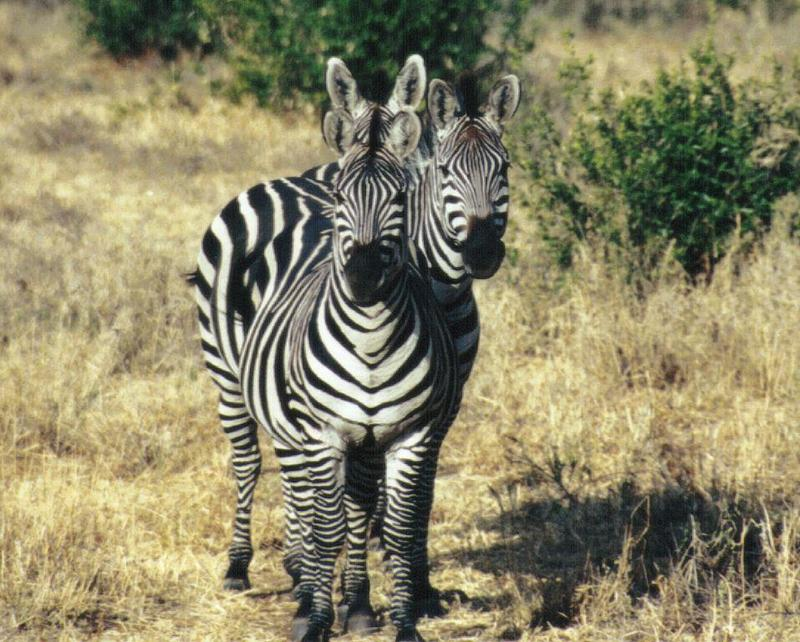 (P:\Africa\Zebra-Plains) Dn-a0980.jpg (1/1) (150 K); DISPLAY FULL IMAGE.