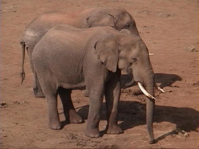 Dn-a1044-African Elephants-by Darren New.jpg