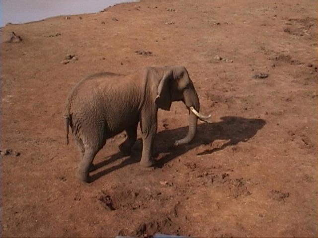 Dn-a1049-African Elephant-by Darren New.jpg
