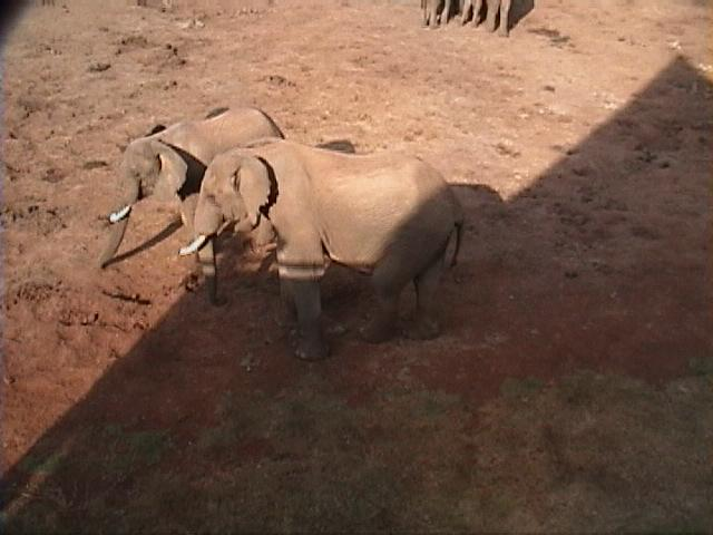 Dn-a1057-African Elephants-by Darren New.jpg