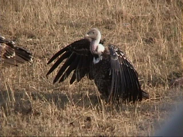 (P:\Africa\VideoStills) Dn-a1434.jpg (African White-backed Vulture); Image ONLY