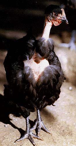 Domestic Chicken-TurkenBlack-by Lara deVries.jpg