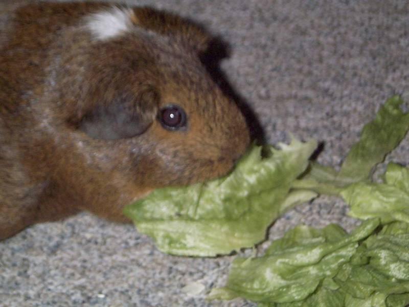 Doogie01-Guinea Pig-by hmm3.jpg