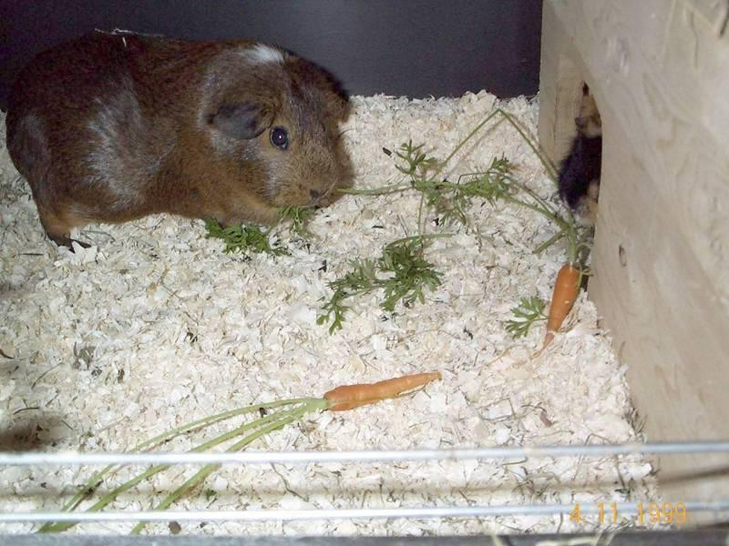 Doogie04-Guinea Pig-by hmm3.jpg