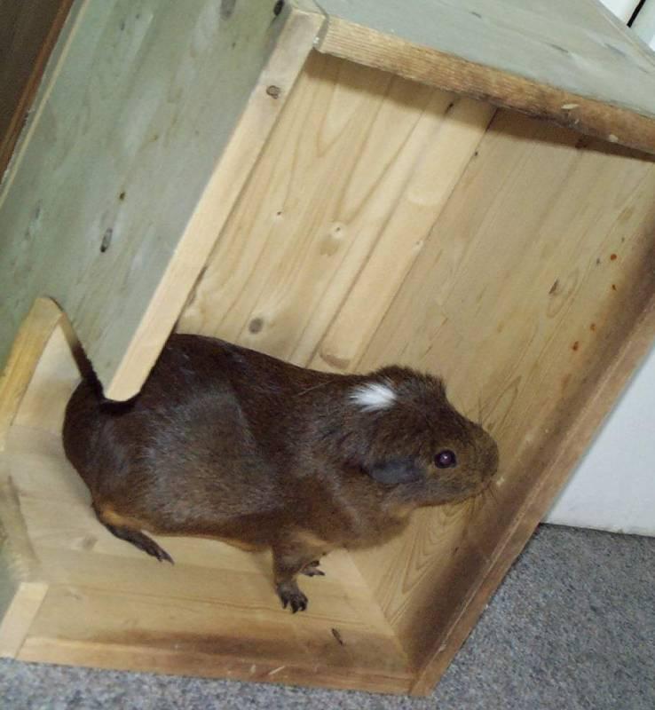 Doogie05-Guinea Pig-by hmm3.jpg