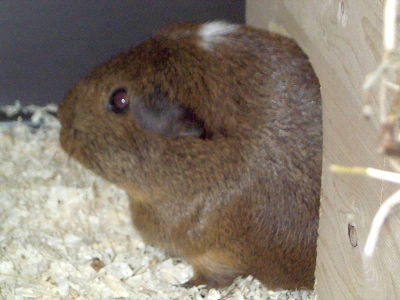 Doogie06-Guinea Pig-by hmm3.jpg