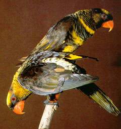 Lories: Dusky Lory; Image ONLY