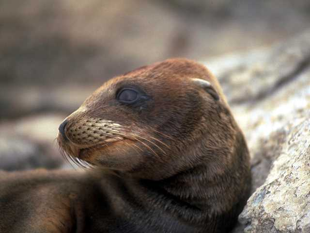 Galapagos - Sea Lions (5 images) 1; Image ONLY